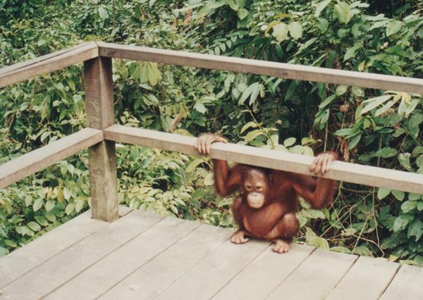 Tuckered out little orangutan